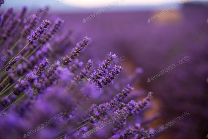 closeup lila Lavendelfeld