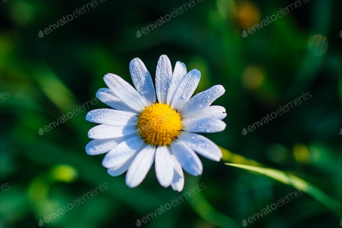 white daisy on the grass