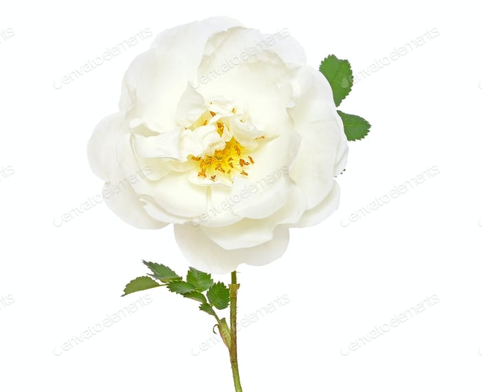 White wild rose flower