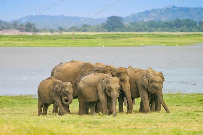 A Herd of Sri Lankan Elephant