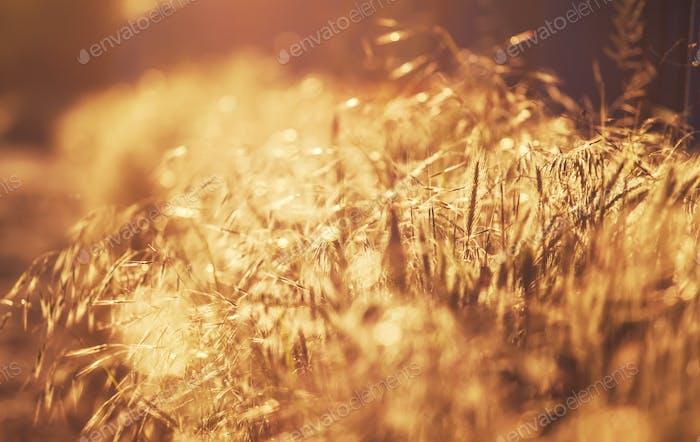 Summer background, landscape at sunset, grass in backlight
