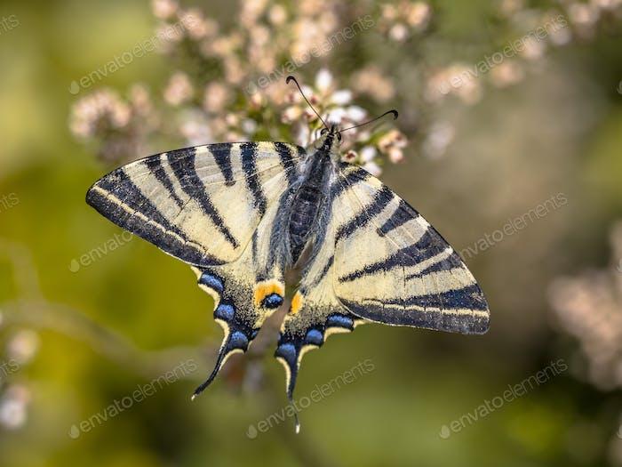 Scarce swallowtail on tree heath