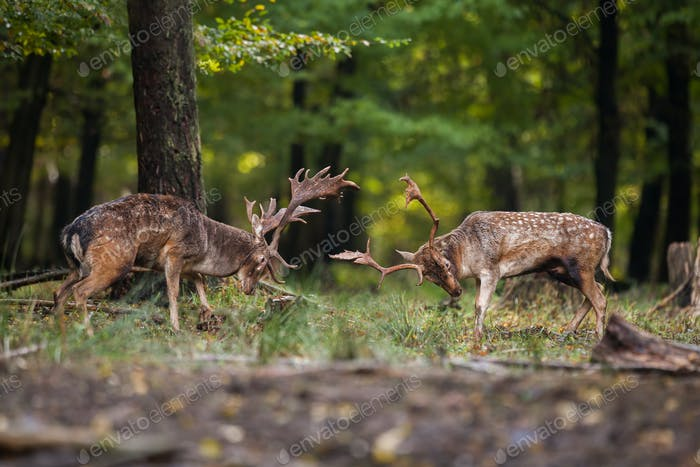 Two fallow deer fighting against each other in forest with copyspace
