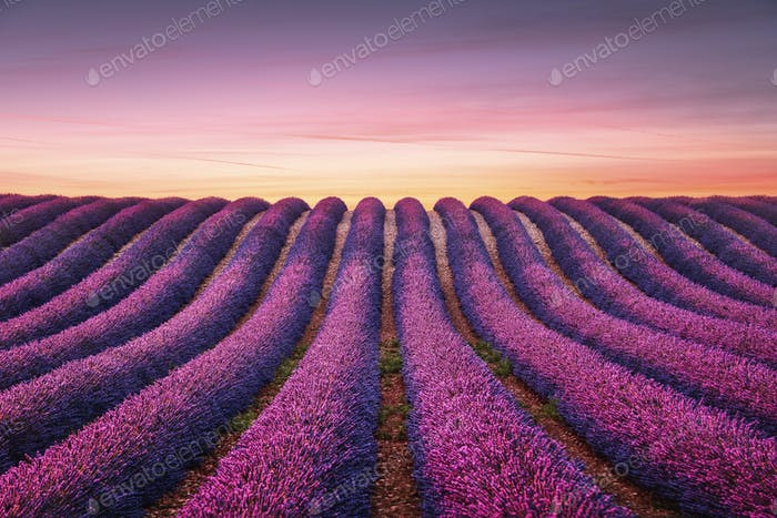 Lavender flower blooming fields endless rows at sunset. Valensol