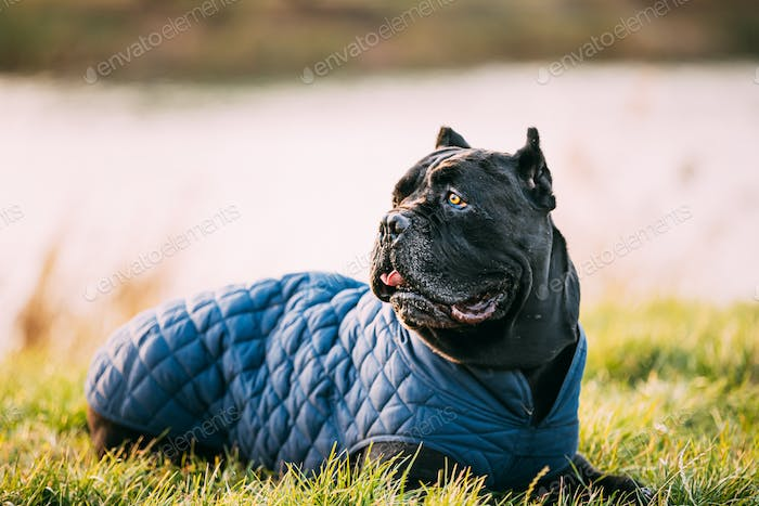 Black Cane Corso Dog Sitting In Grass. Dog Wears In Warm Clothes. Big Dog Breeds