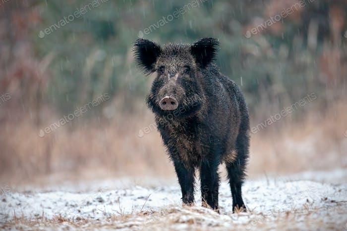 Alerted wild boar swine in winter on snow