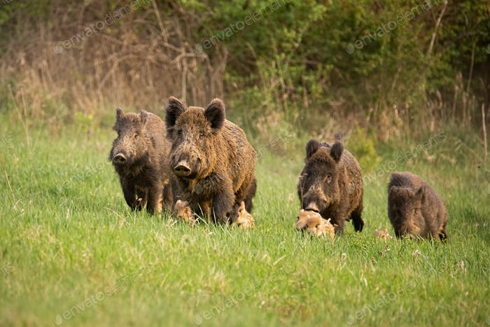 Group of wild boars, sus scrofa, running in spring nature