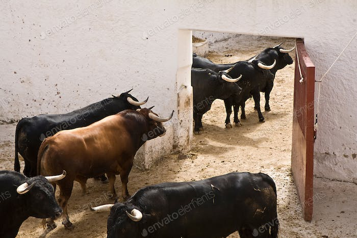 Spanish brave fight bull in the stable, Spain