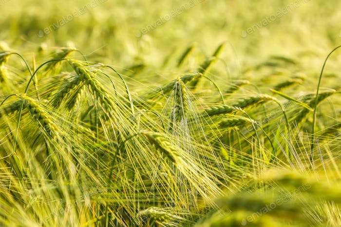 Summer background green wheat ears in sunlight
