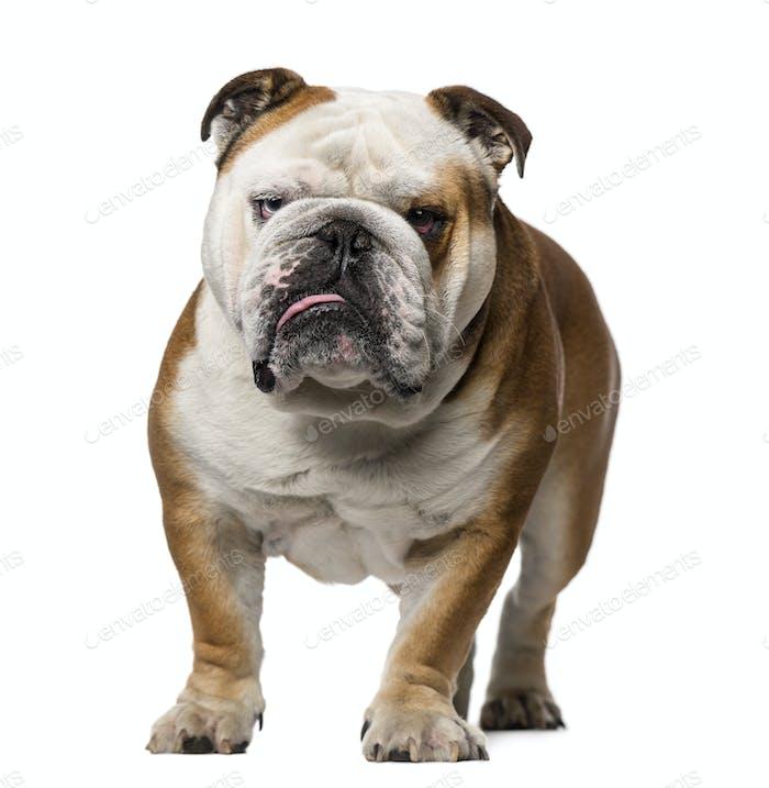 English Bulldog (3 years old)
