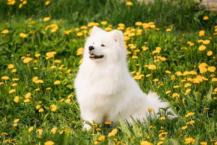 Junge glücklich lächelnd weiß samoyed Hund oder Bjelkier, Smiley, Sammy