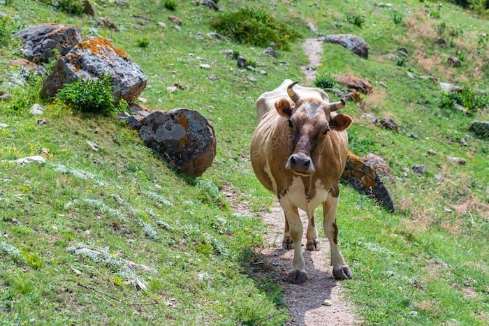 Portrait of brown cow walking on mountain road