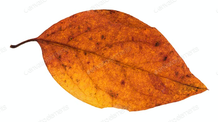 red and yellow autumn leaf of poplar tree isolated
