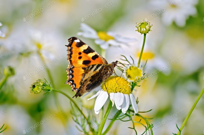 Butterfly orange on a camomile