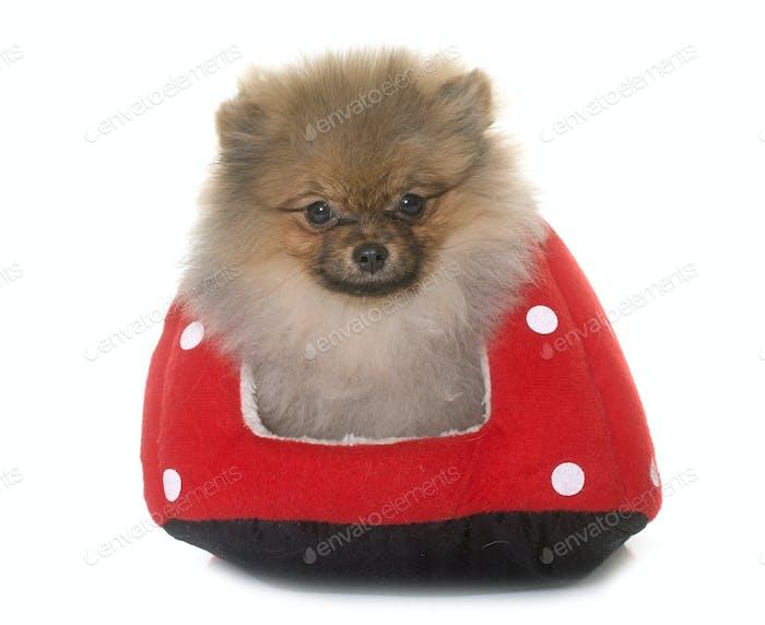 puppy pomeranian dog