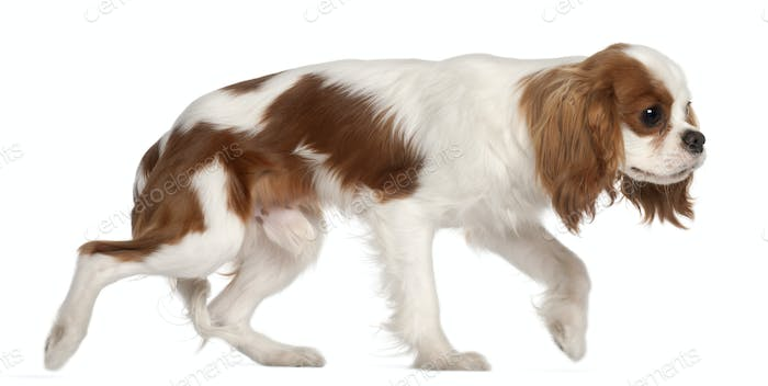 Cavalier King Charles Spaniel, 9 months old, walking in front of white background