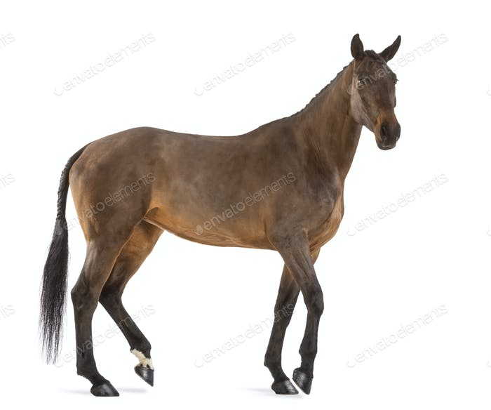 Side view of a Female Belgian Warmblood, BWP, 4 years old, with mane braided