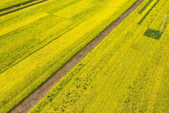 aerial view of rapeseed flower blooming