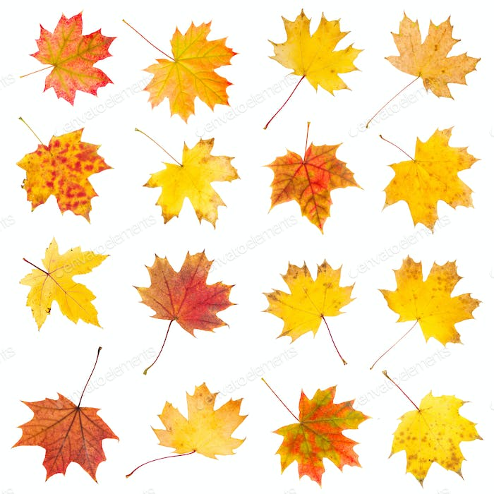 Set of colorful autumn maple leaves