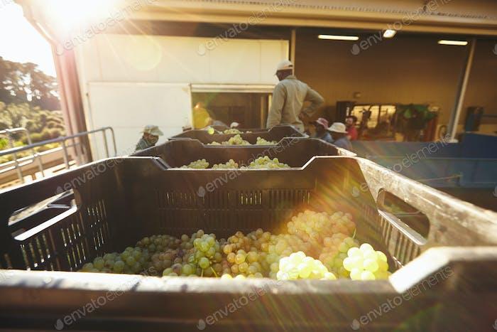 Geerntete Trauben in Kisten, die bereit sind, im Weingut zerkleinert zu werden
