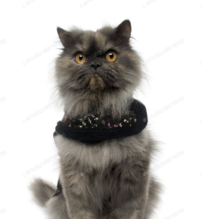 Close-up of a Persian cat wearing a shiny harness, looking at the camera, isolated on white