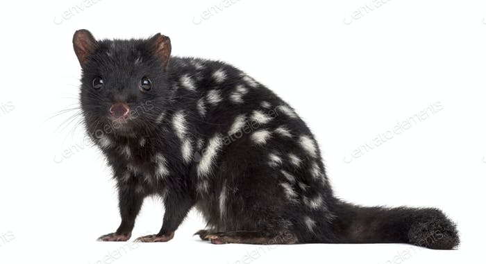 Quoll sitting and looking at the camera, isolated on white