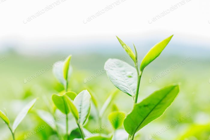young tea on green background