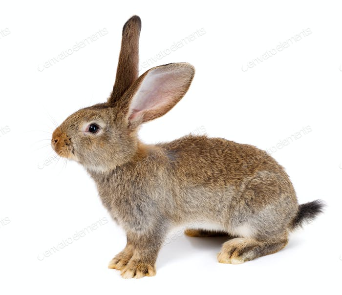 Brown rabbit on white background