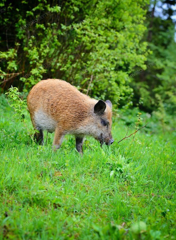 Young wild boar in grass, before a forest