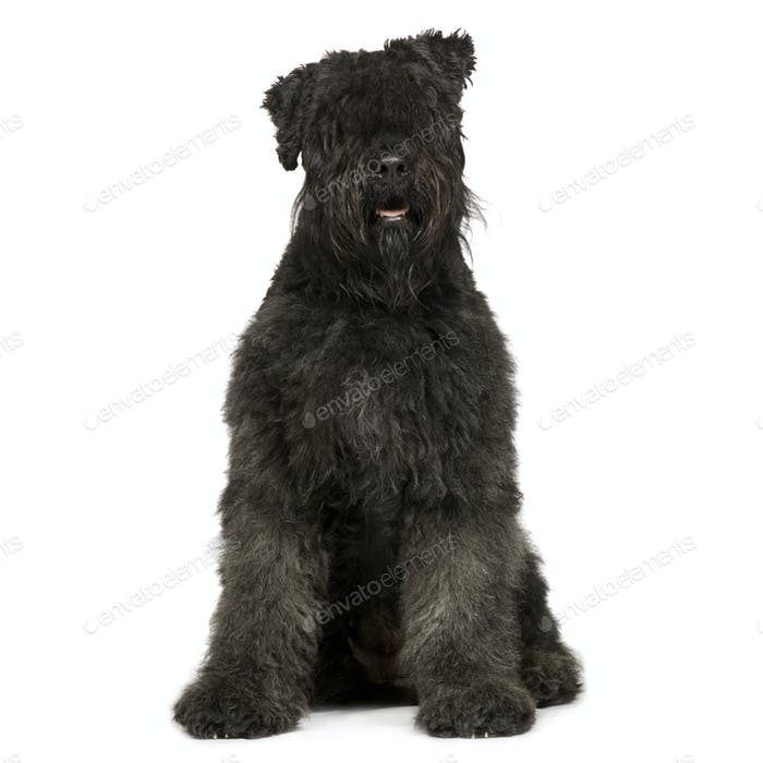 Bouvier des Flandres (2 years)
