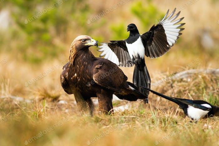 Aggressive eurasian magpie attacking golden eagle in flight