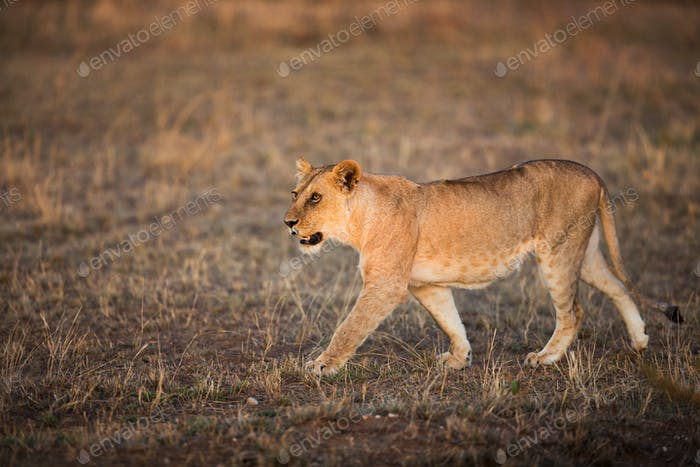Lioness walking in Serengeti