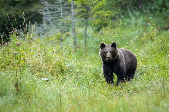 A portraif of brown bear standing on the forest clearing