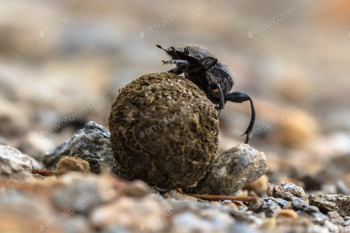 Dung beetle struggling