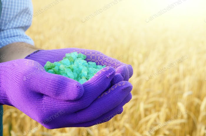 Farmer hold fertilizers in his hands with wheat field at backgro
