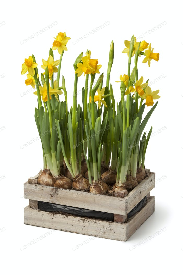 Wooden chest with fresh daffodils