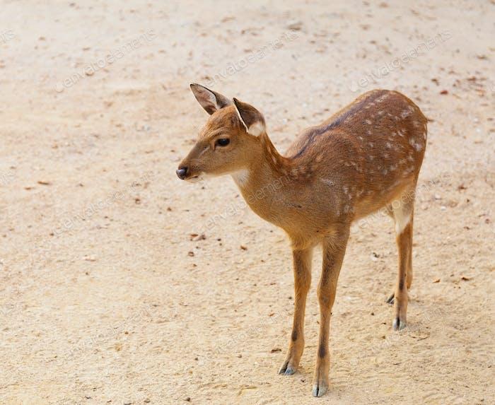 Female roe deer
