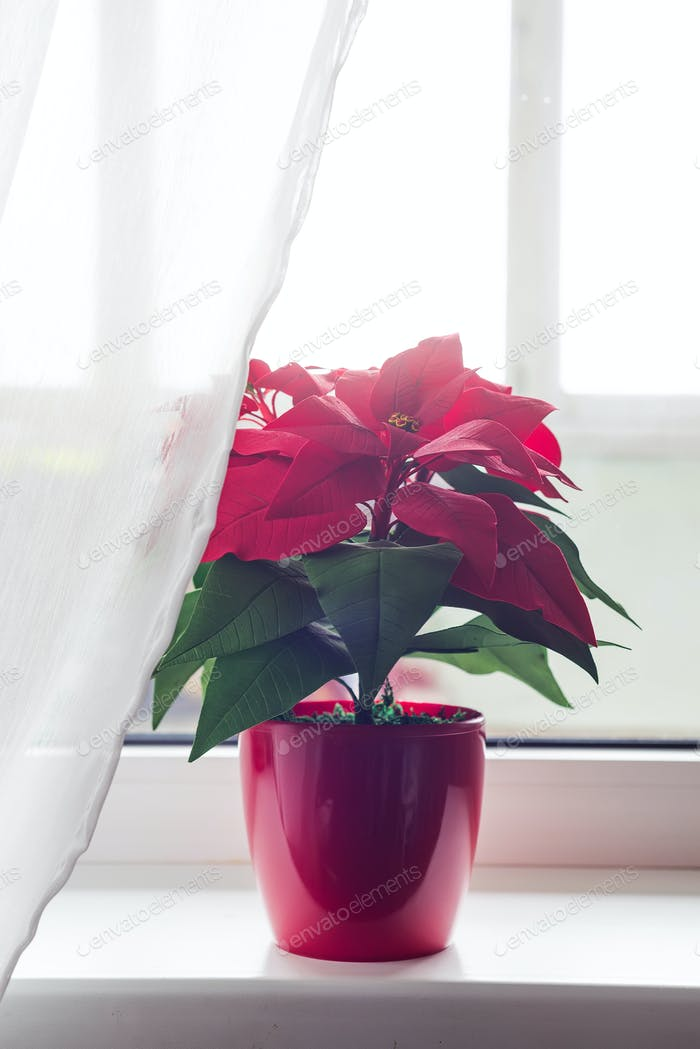 Christmas flower poinsettia in living room, on lights window background. Natural toned photo