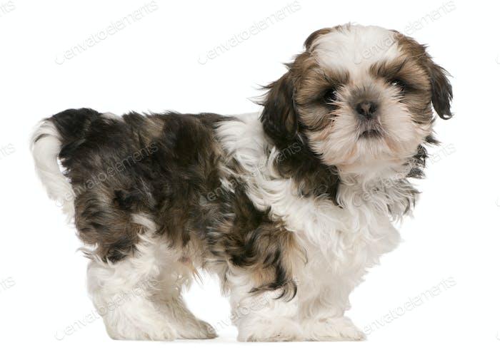 Shih Tzu puppy (9 weeks old)