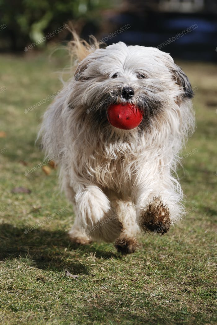 Running Tibetan terrier dog