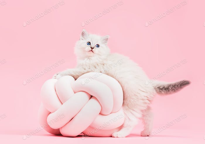Ragdoll cat, small cute kitten portrait with funny pillow. Pink background