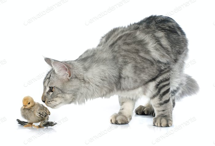 maine coon cat and chick