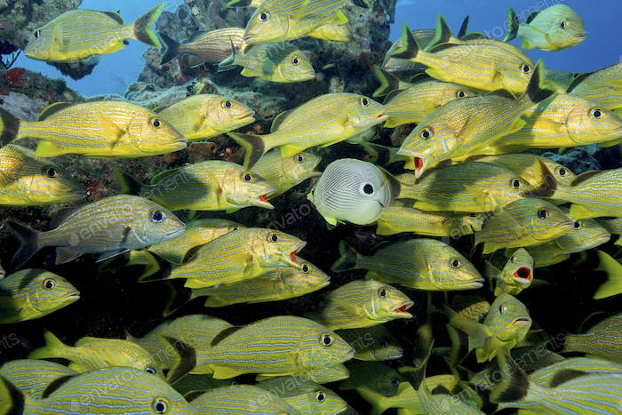A large school of grunts (Blue-striped, Caesar, and French grunts) are approached by a Foureye