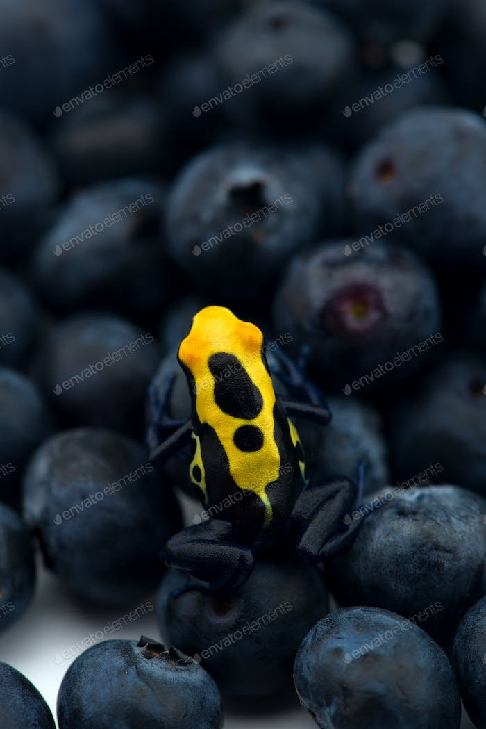 The poison dart frog sits on the berries