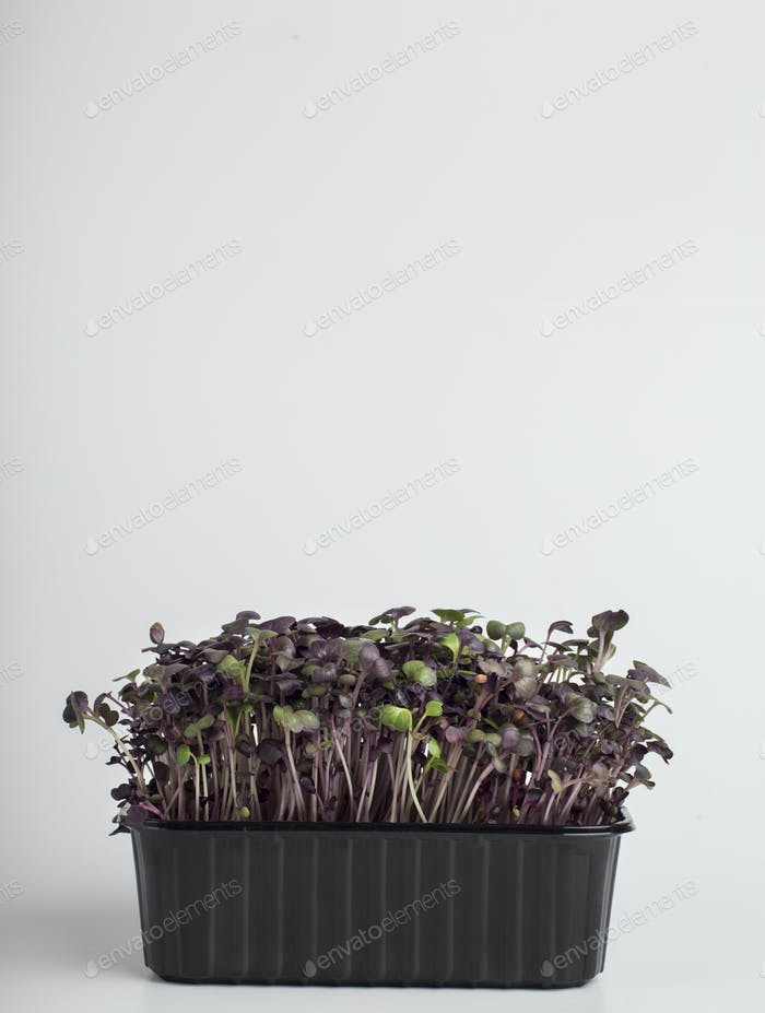 Red cabbage microgreens on white background with copy space