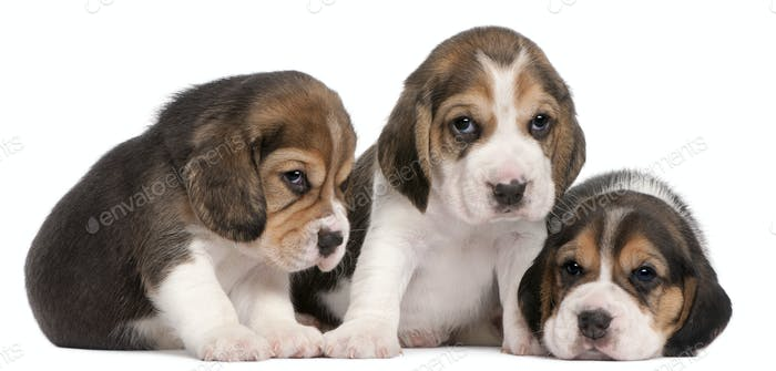 Group of Beagle puppies, 4 weeks old, in front of white background