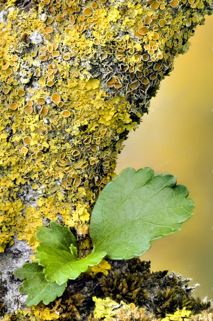 Orange and yellow lichen on Ibiscus tree