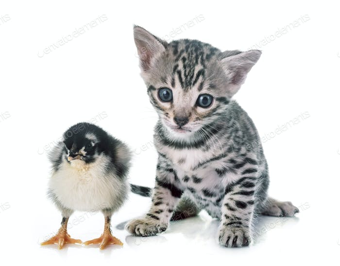 bengal kitten and chick