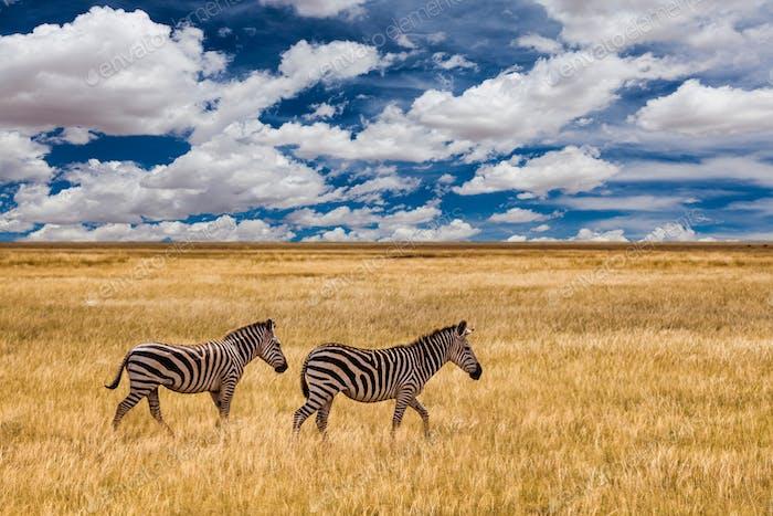 Zebra im Gras Natur Lebensraum, Nationalpark von Kenia. Wildlife Szene aus der Natur, Afrika