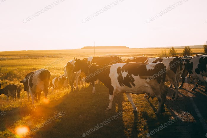 Herd Of Cows Grazing In Green Meadow In Summer Evening. Natural